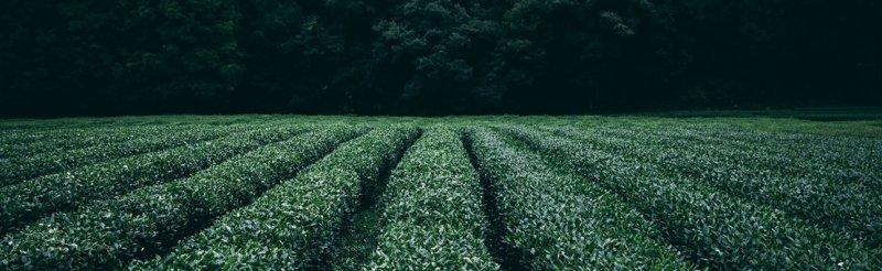 Landschaft mit Teepflanzen