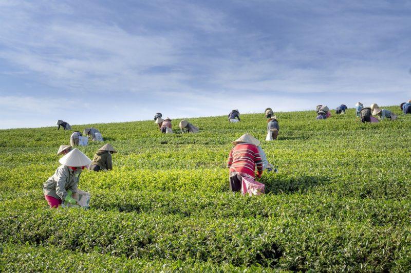 Teeplantage mit arbeitenden Frauen bei der Ernte
